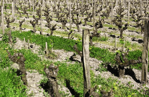 Green begins to show in April in the vineyard of Chateau Guiraud, in the Bordeaux region of France.