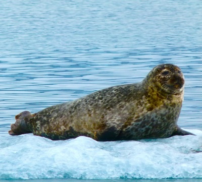 A seal waits for a meal on glacier lagoon.