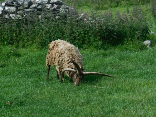 The four-horned ram on the Isle of Man