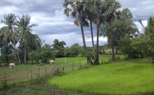 Patches of rice paddies and water buffalo pastures dot the countryside around Siem Reap.