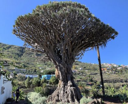 Visiting the Canary Islands: Dragon Trees Said to Spill 'Dragon Blood'