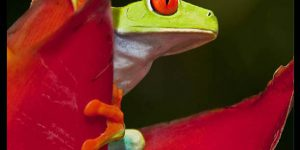 Red-Eyed Tree Frog ~ Amazing Photo ~ A Testament to the Beauty and Wonder of Costa Rica's Rainforest