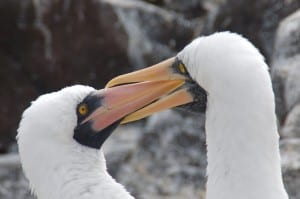 A pair of Nazca boobies