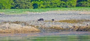 Mother bear leads her cubs on a shoreline food trip.