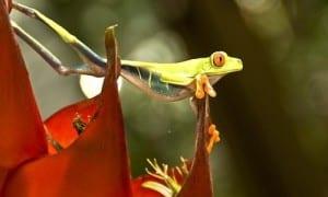 Red eyed tree frog (agalychnis callidryas) in Costa Rica