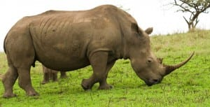 Africa's black rhino. (Photo courtesy of Crystal Cruises Line)
