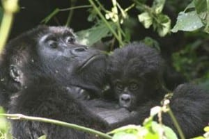 A mother and baby gorilla  Photo courtesy of Crystal Cruises